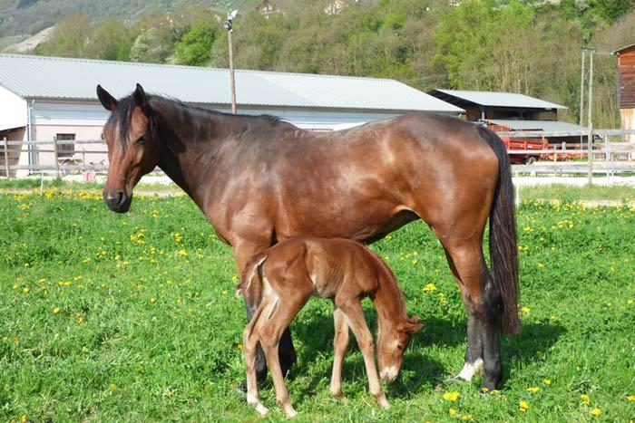 Élevage de chevaux Selle Français